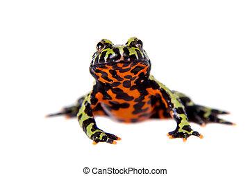 Oriental Fire-bellied Toad, Bombina orientalis, on white -...
