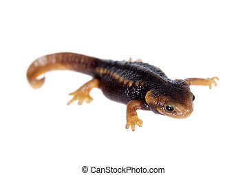 Himalayan newt isolated on white - Himalayan newt,...