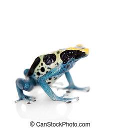 Patricia Dyeing Poison Dart Frog, Dendrobates tinctorius, on...
