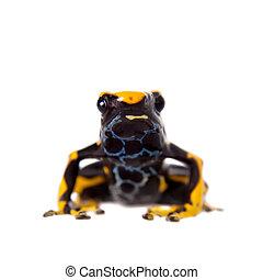 Alanis dyeing poison dart frog, Dendrobates tinctorius, on...