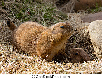 Prairie Dogs - Two Prairie Dogs (Cynomys ludovicianus) near...
