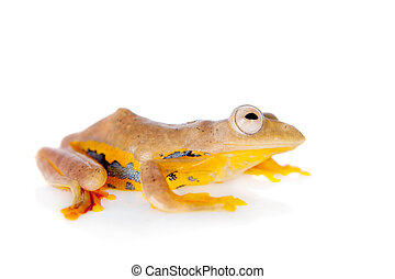 Two-dotted flying tree frog, Rhacophorus rhodopus, on white...
