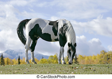 Tobiano Pinto Stallion grassing in front of mountain,autumn...