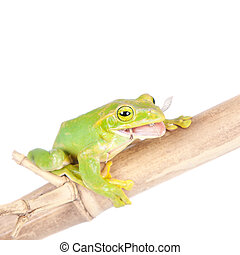 Giant Feae flying tree frog eating a locusts on white -...