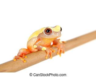 Shreves Sarayacu treefrog isolated on white - Shreves...