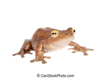Rhacophorus robertingeri, rare species of flying tree frog...