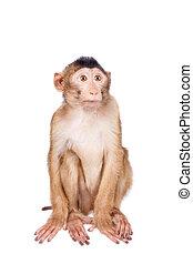 Juvenile Pig-tailed Macaque, Macaca nemestrina, on white -...