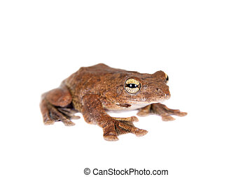 Annam flying frog, Rhacophorus annamensis, on white - Annam...