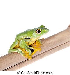 Black-webbed flying tree frog isolated on white -...