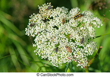 Many bugs, insects visiting Queen Anne s Lace white flowers...