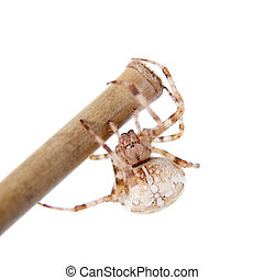 The european garden spider, araneus diadematus, female on...