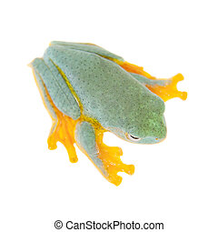 Malabar flying tree frogling isolated on white - Malabar...
