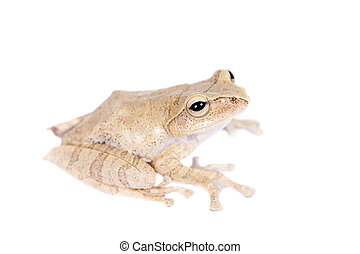 Hoanglien flying frog isolated on white - Hoanglien flying...