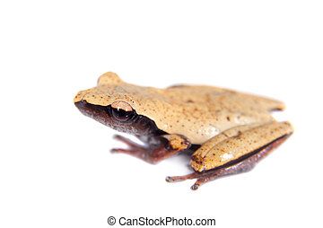 White-back mossy frog, Theloderma laevis, on white -...