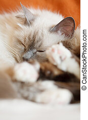 Two cute cats sleeping - Two sacred birman cats sleeping...