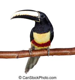 Black-necked aracari isolated on white - Black-necked...