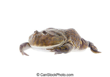 The Budgetts or hippo frog, Lepidobatrachus laevis, on white...
