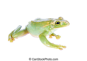 Giant Feae flying tree frog isolated on white - Giant Feae...