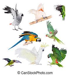 przelotny, Papugi, komplet, Na, biały,