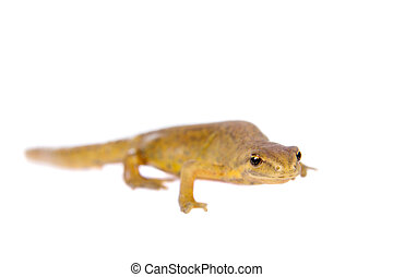 The smooth or common newt, Lissotriton vulgaris, on white -...