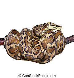 Jungle carpet python, Morelia spilota variegata on white -...