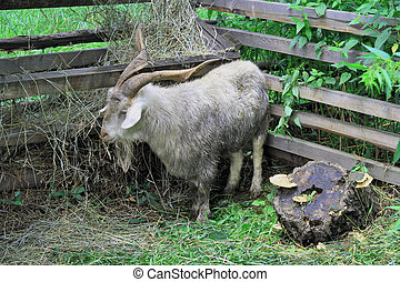 Animal on a farm  - Happy goat in a shelter