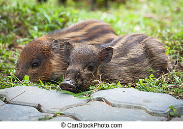 Baby wild boars sleeping on grass peacefully