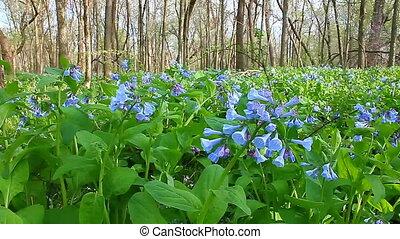 Virginia Bluebells in Illinois