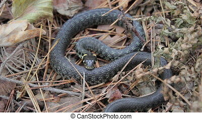 Grass Snake (Natrix natrix). - snake lies and sizzle in the...