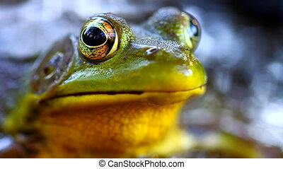 Green Frog (Rana clamitans) - Close up view of a Green Frog...