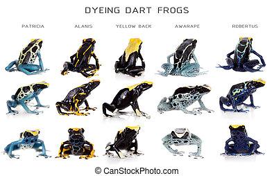 Dyeing poison dart frogs set, Dendrobates tinctorius, on...