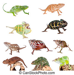 Chameleon set on white - Different species of chameleons,...