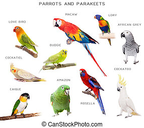 Parrots and parakeets education set, isolated on white...