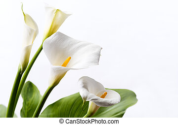 White calla lily flowers in front of white background