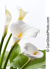White calla lily flowers in front of white background in...
