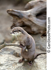 European otter Lutra lutra - portrait of beautiful and...