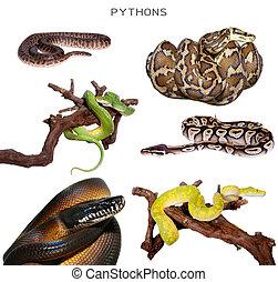 Pythons set on white