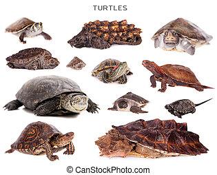 żółwie, komplet, Na, biały,