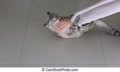 Female hand is fun game with beautiful Thai cat.
