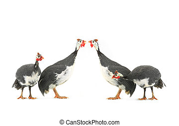 Guinea fowls Numida meleagris isolated on a white background...