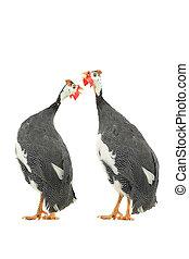Guinea fowls (Numida meleagris) isolated on a white...