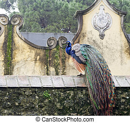 detail of peacock in the garden of sao jorge castle in...