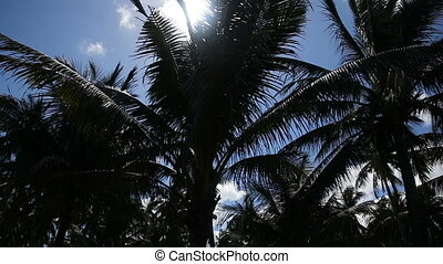 Coconut palm trees plantation in Philippines - grove of...