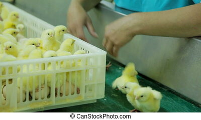 Small chicks in Factory - Small chicks in a Factory