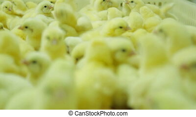 Small and beatiful chicks in Factory - Small chicks in a...