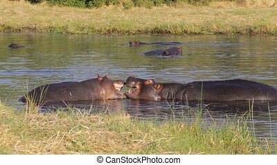 Two fighting young male hippo - wo young male hippopotamus...