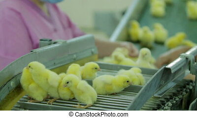 Woman Sorting Small chicks in Factory - Small chicks in a...