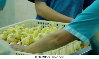 Workers Sorting Small chicks in Factory - Small chicks in a...