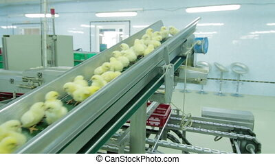 Chicks disinfection in Factory - Small chicks in a Factory