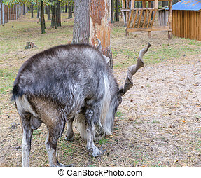 Horned goat markhor, lat: capra falconeri heptneri Rear side...